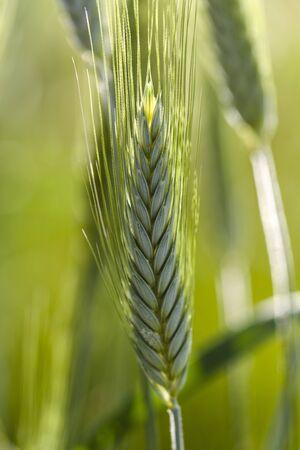 wheatstalk in the field in spring