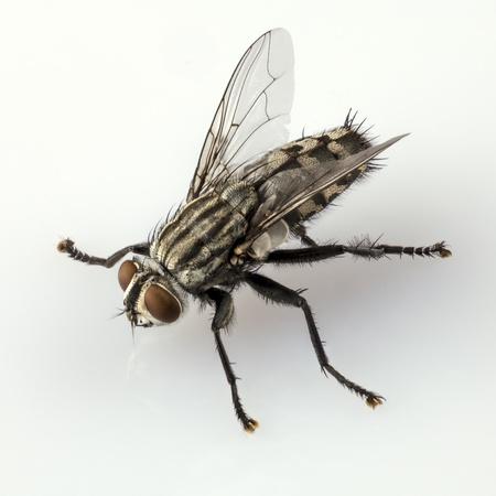 flesh: Flesh fly species sarcophaga carnaria isolated on white background  Stock Photo