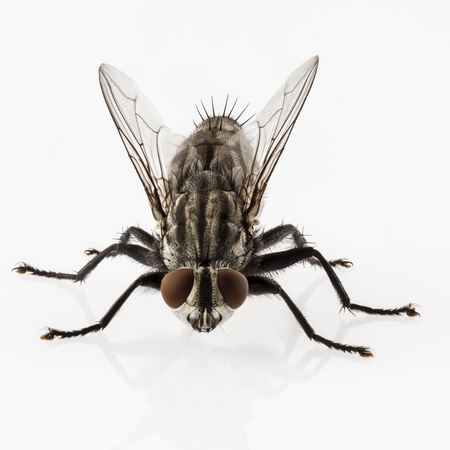 Flesh fly species sarcophaga carnaria isolated on white background  Stock Photo