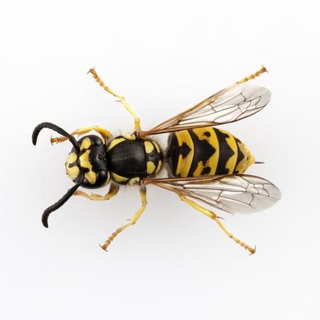 wasp: avispa Vespula germanica especies aisladas sobre fondo blanco