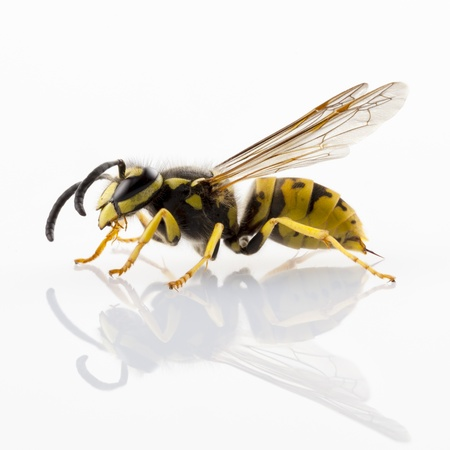 white fly: wasp Vespula germanica species isolated on white background
