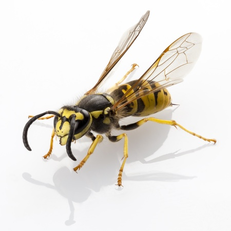 yellow jacket: wasp Vespula germanica species isolated on white background