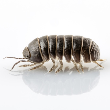 vulgare: Pill-bug armadillidium vulgare species isolated on white background