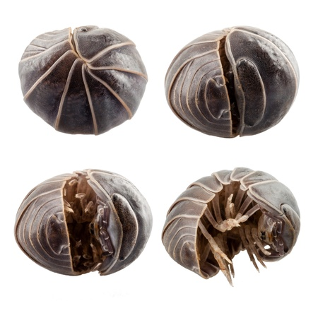 vulgare: Pill-bug armadillidium vulgare species opening,  isolated on white background