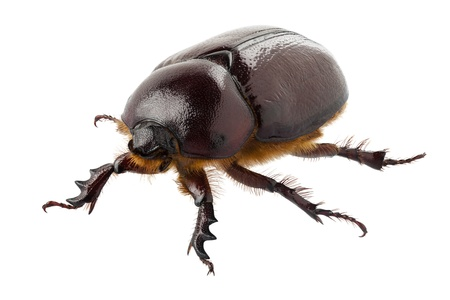 European rhinoceros beetle female