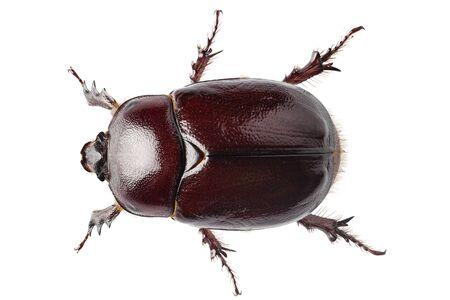 oryctes: European rhinoceros beetle female