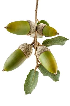 Holm rama de roble con bellotas de Quercus Ilex especies de la zona mediterránea aislada en el fondo blanco