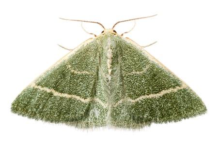 vert papillon espèces chlorissa etruscaria isolé sur fond blanc
