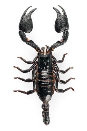 escorpio: Negro scorpio especies Heterometrus cyaneus de la isla de Java en Indonesia aislado sobre fondo blanco