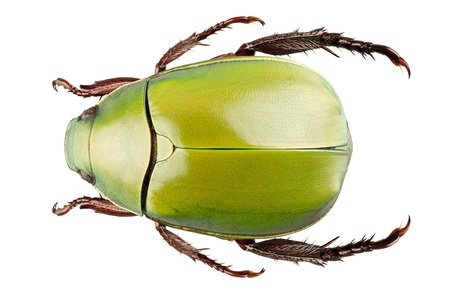 Green beetle species Anomala dimidiata isolated on white background Stock Photo