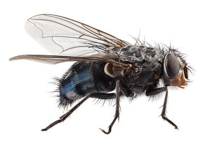 blauwe fles vliegen soorten Calliphora vomitoria geïsoleerd op witte achtergrond Stockfoto