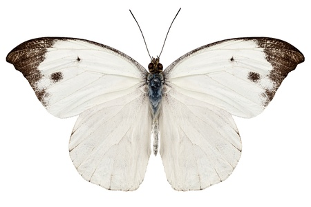 pieridae: White butterfly from Java in Indonesia isolated on white background