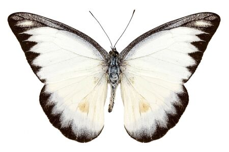 pieridae: White butterfly species Appias lyncida isolated on white background