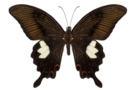 papilionidae: Black and brown butterfly species Papilio nephelus isolated on white background Stock Photo