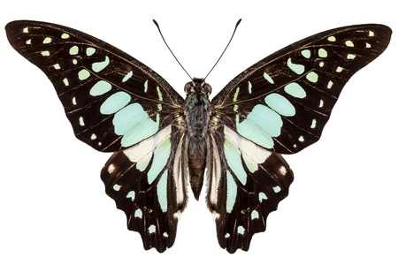 swallowtails: butterfly species Graphium bathycles isolated on white background