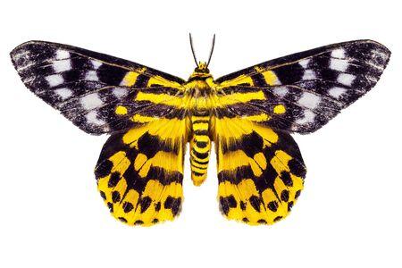 arthropoda: butterfly moth Dysphania subrepleta isolated on white background Stock Photo