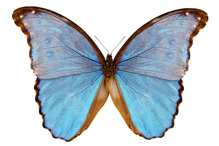 papilionidae: Butterfly species Morpho godarti assarpai isolated on white background Stock Photo