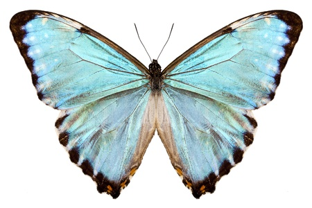 morpho: butterfly species Morpho portis thamyris isolated on white background
