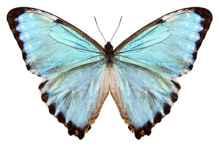 morpho menelaus: mariposa Morpho especies Portis Thamyris aislado sobre fondo blanco