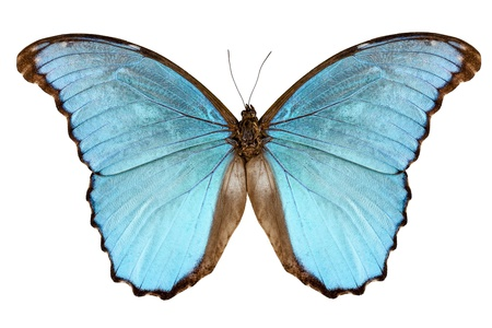 Butterfly species Morpho menelaus alexandrovna isolated on white background photo