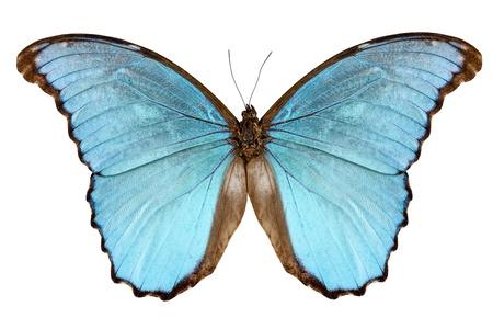 morpho menelaus: Mariposa Morpho Menelao Alejandrovna especies aisladas sobre fondo blanco Foto de archivo