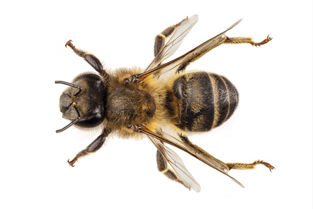 abeja: Bee especie Apis mellifera nombre común occidental miel de abeja o miel de abeja europea aislada en el fondo blanco Foto de archivo