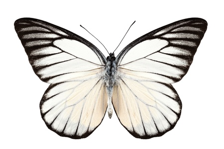pieridae: Butterfly species Prioneris philonome isolated on white background Stock Photo