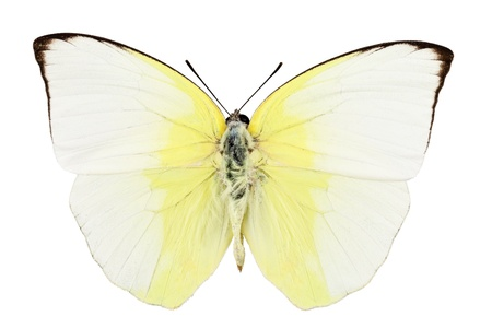 pieridae:  Butterfly species phoebis statira isolated on white background Stock Photo