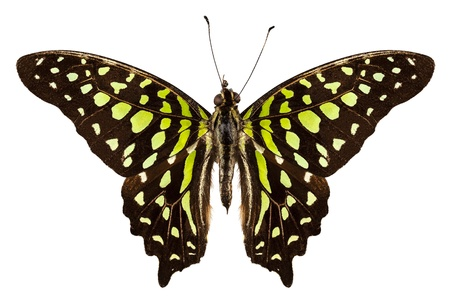 green jay: Butterfly especie Graphium Agamenón