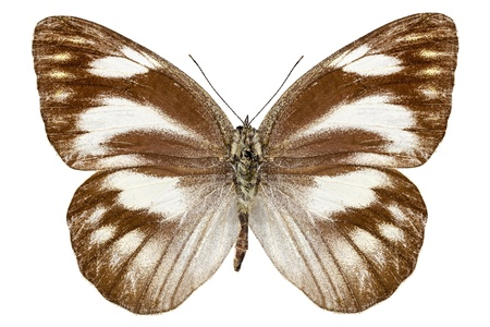 pieridae: Butterfly species Appias libythea  Stock Photo