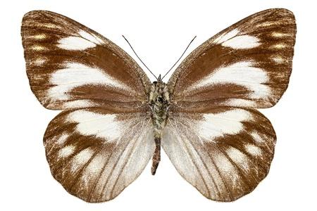 pieridae: Butterfly species Appias libythea  Stock Photo