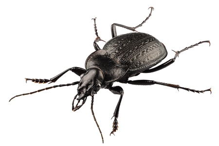 carabus: beetle species carabus coriaceus in high definition with extreme focus isolated on white background