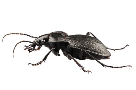 carabidae: beetle species carabus coriaceus in high definition with extreme focus isolated on white background