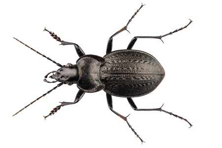 high definition: beetle species carabus coriaceus in high definition with extreme focus isolated on white background