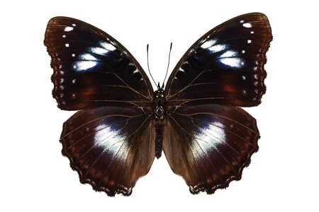Butterfly species Hypolimnas bolina  Stock Photo - 16511599