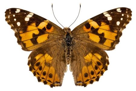 vanessa: Butterfly species Vanessa cardui  Stock Photo