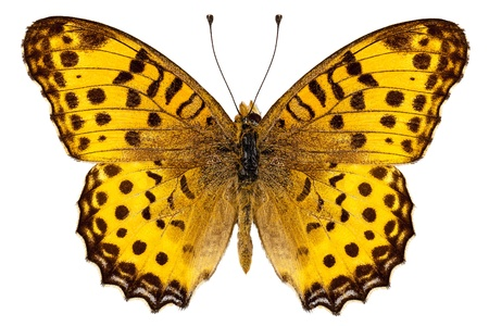 spoted: Butterfly species Argynnis hyperbius