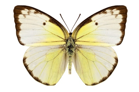 pieridae: Butterfly species Catopsilia pomona  Stock Photo