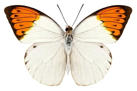 butterfly wings: Butterfly species Hebomoia glaucippe
