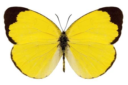 mariposas amarillas: Butterfly especies Eurema Alitha