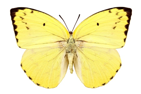 pieridae: Butterfly species Catopsilia pomona pomona  Stock Photo