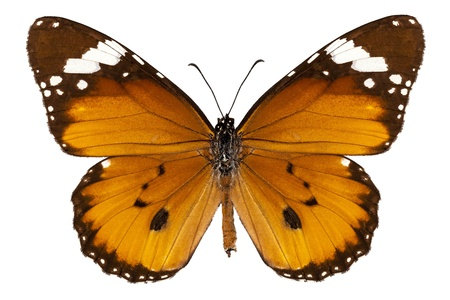 danaus: Butterfly species danaus chrysippus