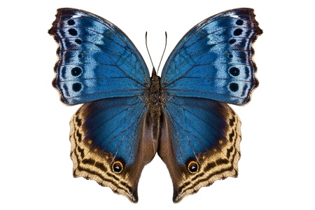 exotic butterflies: Butterfly species Salamis temora  Stock Photo