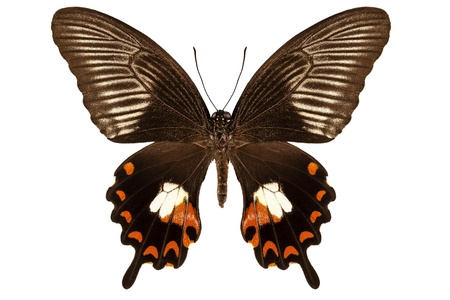 papilionidae: Butterfly species papilio polytes mandane  Stock Photo