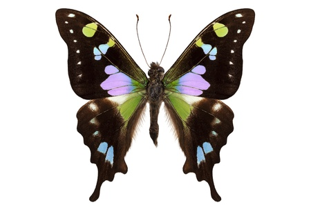 papilionidae: Butterfly species Graphium weiskei  Stock Photo