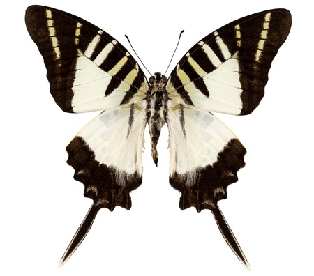 Butterfly species graphium decolor atratus  photo