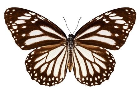 danaus: Butterfly species Danaus melanippus