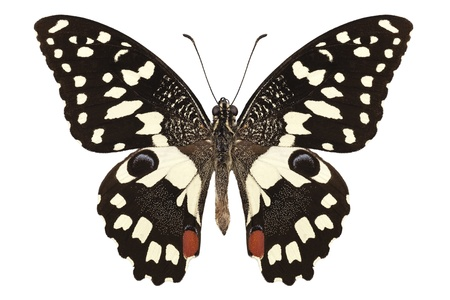 papilio: Butterfly species Papilio demoleus