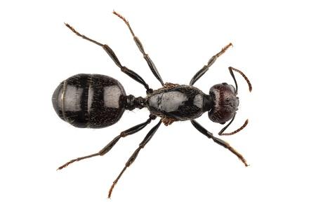 Czarny ogród ant gatunek Lasius niger w wysokiej rozdzielczości z ekstremalnej ostrości i DOF (głębia ostrości) samodzielnie na białym tle