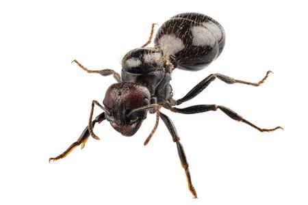 ant: Negro hormiga de jardín Lasius niger especies en alta definición con extrema atención y DOF (profundidad de campo) aisladas sobre fondo blanco